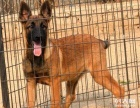 出售纯种马犬幼犬公母都有的疫苗驱虫已做包健康送狗