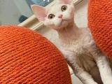广西桂林纯白德文幼猫价格