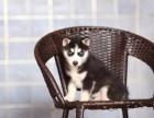 咸阳哪里卖纯种哈士奇犬 咸阳灰色哈士奇多少钱 红色哈士奇