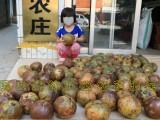 广西大果红花油茶袋苗价格 藤县盛林农业大果红花油茶树苗