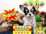 可签订协议 正规狗场繁殖 可看狗父母 吉娃娃犬