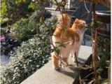 北京賣豹貓 店鋪搜:雙飛貓