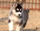 兰州纯种哈士奇价格 兰州哪里能买到纯种哈士奇犬