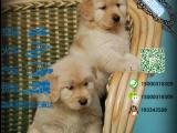 宠物店和狗市里的金毛犬可以买吗 健康的多少钱一只