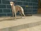 卡斯罗格力惠比特马犬