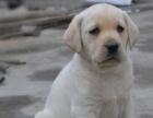 大头高品质 拉布拉多幼犬出售,健康,纯正好血统,多只挑选