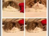 里有出售宠物波斯猫猫包纯种健康送货上门