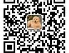 金色系玫瑰纹孟加拉豹猫 纯种 红金系 空心大玫瑰/玫瑰纹豹猫