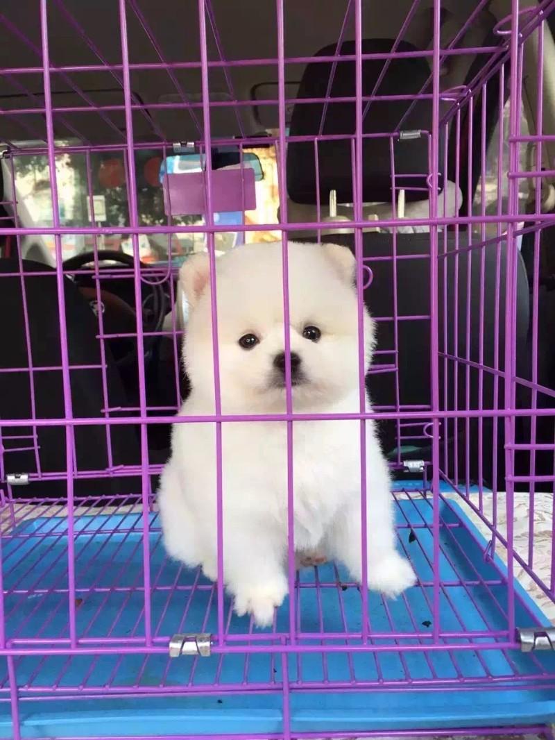 活泼可爱 俊介博美幼犬