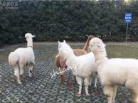 羊驼展示出租 羊驼婚庆出租 10.1羊驼租赁