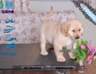 本地出售金毛 拉布拉多哈士奇阿拉斯加萨摩耶秋田柴犬