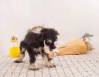 CKU认证犬舍 雪纳瑞 保障健康 终生售后