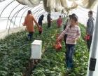 杭州周边游余杭老徐有机建德草莓园组团活动进行中