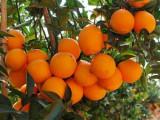 臍橙樹苗批發