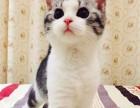 杭州本地猫舍出售英短蓝猫渐层折耳美短起司加菲
