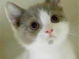 鄭州哪里出售純種英國藍白短毛貓純種英國藍白短毛貓多少錢一只