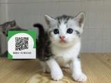 南阳哪里卖虎斑猫 南阳哪里有宠物店 南阳哪里卖宠物猫便宜
