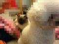 一岁多暹罗猫