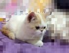 五个月漂亮加菲猫找新爸爸妈妈