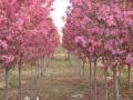 现低价处理绿化苗木:海棠 金叶复叶槭 国槐小苗 果桑