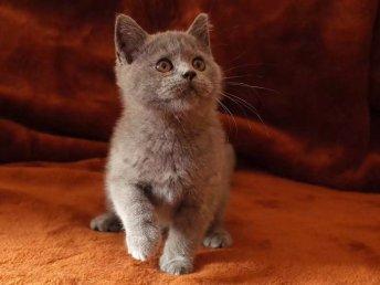 出售美短虎斑 英短藍貓 藍白 幼貓咪出售