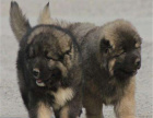 巨型大猛犬高加索幼犬 骨架大 包健康 签协议质保