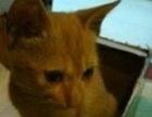 泰安自家可爱猫咪找新家360元。