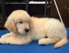 潍坊哪里有金毛犬出售 潍坊纯种金毛多少钱 潍坊哪里有金毛犬舍