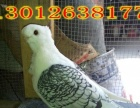 常年出售元宝鸽观赏鸽的价格