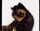 异国短毛猫加菲猫玳瑁女母猫8个月幼猫