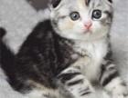 CFA品质保障,纯种布偶加菲蓝白蓝猫英短美短金吉拉