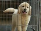 赛级品质金毛犬幼犬带血统证书 终身健康服务可上门挑