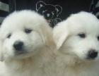 高品质大白熊品相好血统很纯正的 可来看看 大狗很
