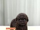kch18茶杯玩具型红色泰迪犬贵宾宠物狗狗幼犬泰迪幼犬出售