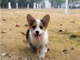 北京西城纯种三色柯基犬价格多少