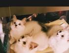 自家繁殖山猫双色布偶弟弟