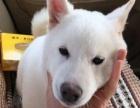 3个月的白色柴犬2800元(公)