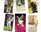 各类纯种的宠物猫