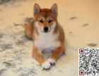 哪里有卖柴犬?柴犬多少钱?
