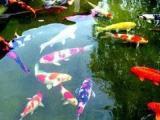 低价急卖优质锦鲤观赏鱼红鲫鱼 小汤山养殖场