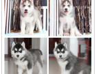 纯种哈士奇雪橇犬,三火,蓝眼.血统纯正.实物如图