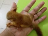出售魔王松鼠蜜袋鼯雪地松鼠紅腹黃山松鼠