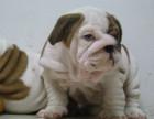 斗牛犬 专业繁殖 签协议包品质 欢迎实地挑选
