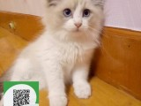 柳州哪里开猫舍卖布偶猫 去哪里可以买得到纯种布偶猫