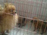 郑州精品吉娃娃幼犬一证书齐全一血统纯正一送用品签协议