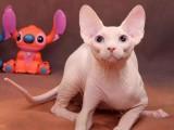十堰布偶猫出售 自家繁育纯种 品相好 高贵优雅