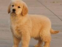 佛山哪里有卖金毛犬 健康纯种金毛出售 包签协议 送用品