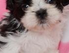 韩国引进种犬,赛级西施犬,三个月免费退换,