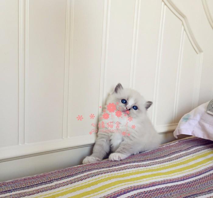 韶关哪里有卖布偶猫,两个半月布偶猫多少钱一条