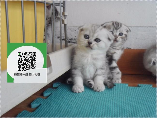 楚雄哪里有折耳猫出售 楚雄折耳猫价格 折耳猫多少钱